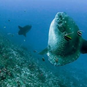 1-Mola mola (2).MOV_000038872