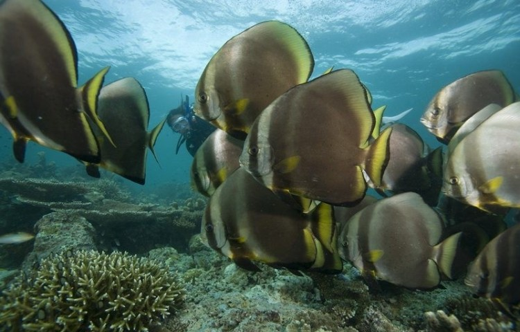 Bat fish Gili