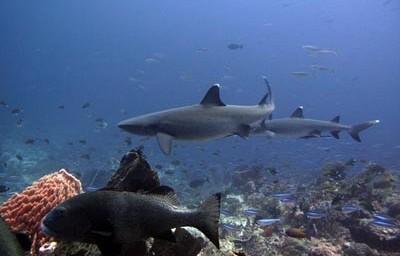 Žralok bělocípí